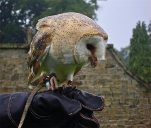 Swinton Park - Barn Owl