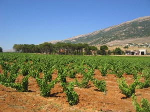 Chateau Musar vines in the Bekaa valley, Lebanon