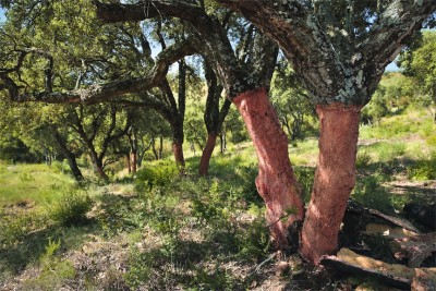 DIAM Bouchage Managed Cork Trees