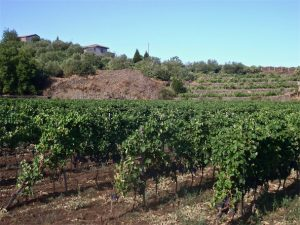 Etna wines - vines and terraces