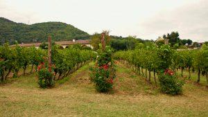 Immaculate Tai Rosso vines at Pegoraro