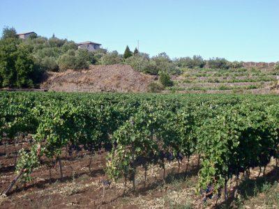 Sicily - Nerello Mascalese vineyards on Etna
