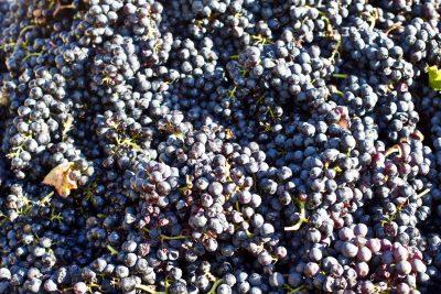 Scacciadiavoli Sagrantino harvest
