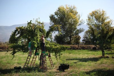 Harvesting Trebbiano Spoletino, growing up trees at Tabarrini