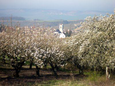 Irancy cherry blossom