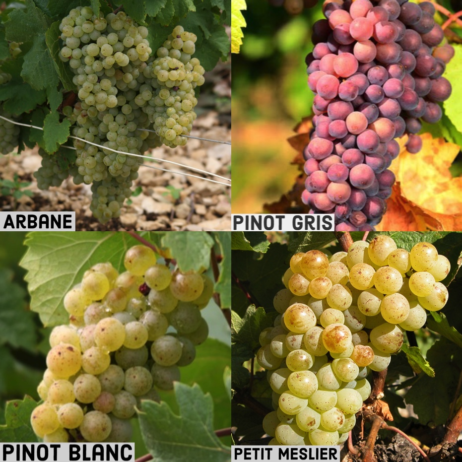 Rare Champagne grape varieties
