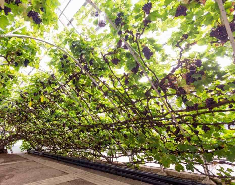The Great Vine, Hampton Court - Schiava