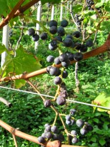 Rosenmuskateller bunches; passito on the vine at Kurtatsch