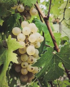 Nascetta grape variety